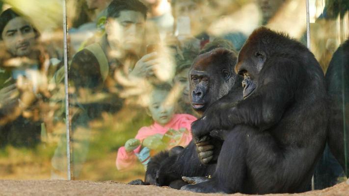 ABŞ-nyň haýwanat bagyndaky gorillalar koronawirus bilen keselledi