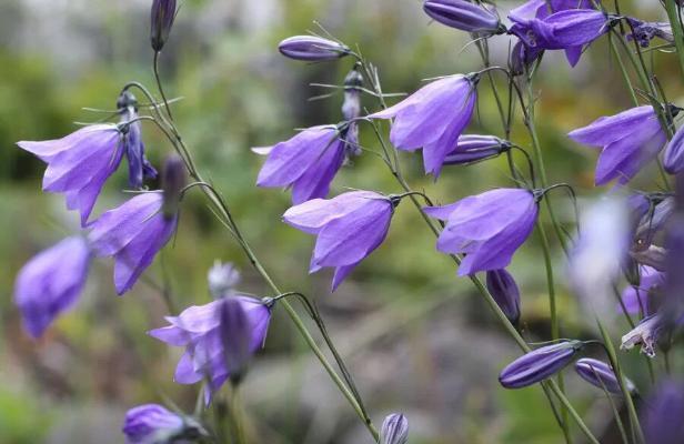 Шведы выбрали национальный цветок